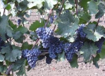Weinsorte: Blauer Zweigelt (Foto: © Weinbau Familie Tschida)