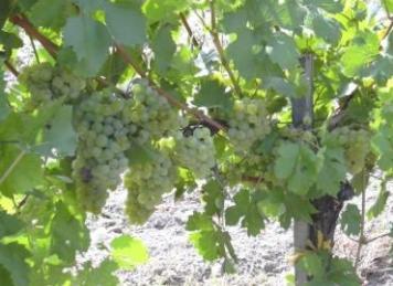 Weinsorte: Bouvier (Foto: © Weinbau Familie Tschida)