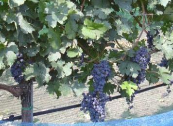 Weinsorte: Cabernet Sauvignon (Foto: © Weinbau Familie Tschida)