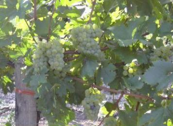Weinsorte: Welschriesling (Foto: © Weinbau Familie Tschida)